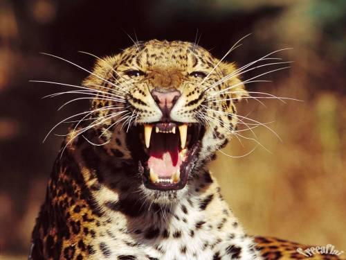 Фотоальбом животные злой леопард